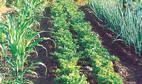 Что посадить на огороде