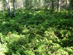 Фитонциды растений