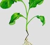Заболевание растений черная ножка