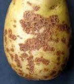 Борьба с паршой картофеля