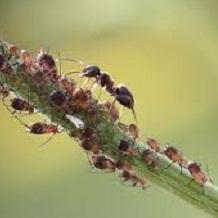 Избавиться от садовых муравьев