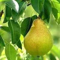 Лучшие сорта груш для выращивания в средней полосе