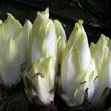 Выращивание салатного цикория