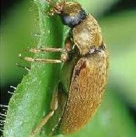 Малинный жук