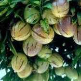 Плод пепино