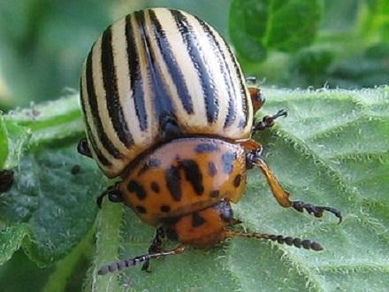 Меры борьбы с колорадским жуком