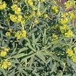 Сорняк молочай защитит растения от огородных вредителей и болезней
