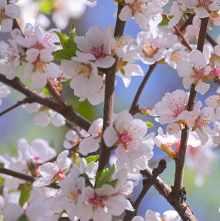 сад повторное цветение деревьев