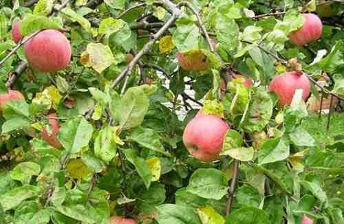 Периодичность плодоношения яблонь в саду
