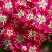 Цветы боярышника