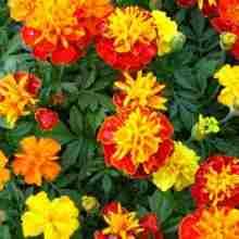 Цветы бархатцы красивые фото