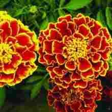 Цветы бархатцы второе фото