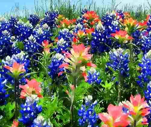 Люпин фото цветов