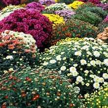 цветы фото дубок