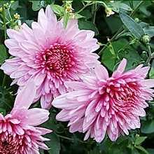 Лучшие садовые цветы фото