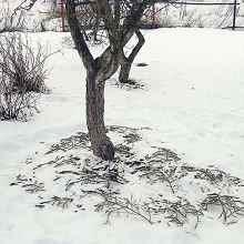 На фото защита корней хвоей