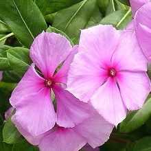 Барвинок розовый фото