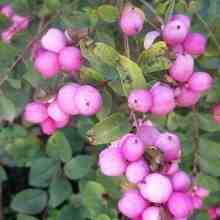 Бутоны розового снежноягодника