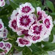 Цветы турецкой гвоздики