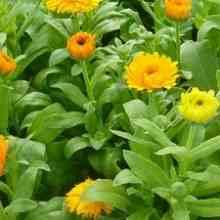 Фото цветов календулы