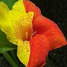 Канна желто-красная