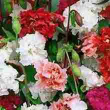 Кларкия 2 фото цветов
