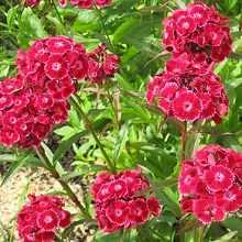 Многолетнее растение гвоздика турецкая