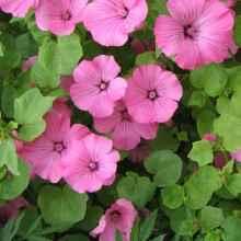 Розовая лаватера