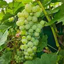 Борьба с вредителями винограда