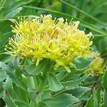 Родиола с желтыми цветками