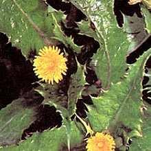 Фото сорняка осот