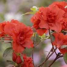 Красивый красный рододендрон