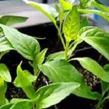 Перец рассада выращивание