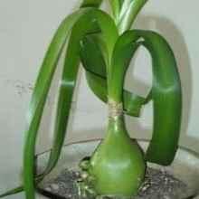 Индийский лук-Птицемлечник хвостатый