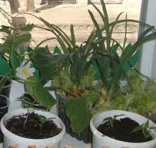 огород на подоконнике зимой