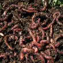 Биогумусные черви
