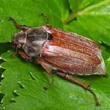 как избавиться от майского жука