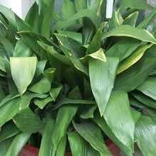 Листья растения аспидистра