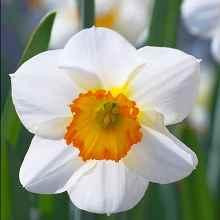 Нарцисс белые лепестки