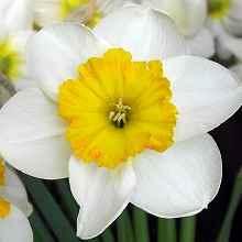 Нарцисс с желтой сердцевиной