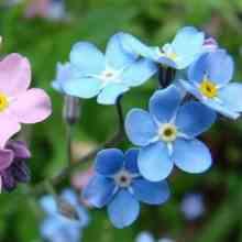 Цветок незабудка выращивание