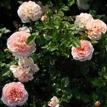 Правила обрезки садовых роз