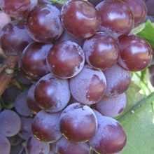 Виноград как ухаживать весной