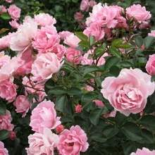 Цветы шиповника розовые