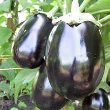 Фото выращивания баклажанов