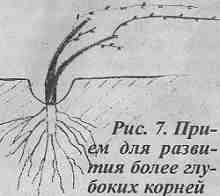 Глубокие корни винограда