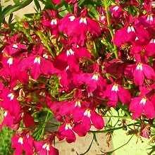 Лобелия прекрасный цветок
