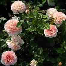 ржавчина роз