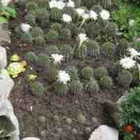 Интересный кактус эхинопсис