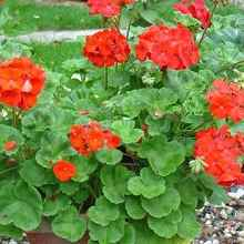 Пеларгония с красными цветками